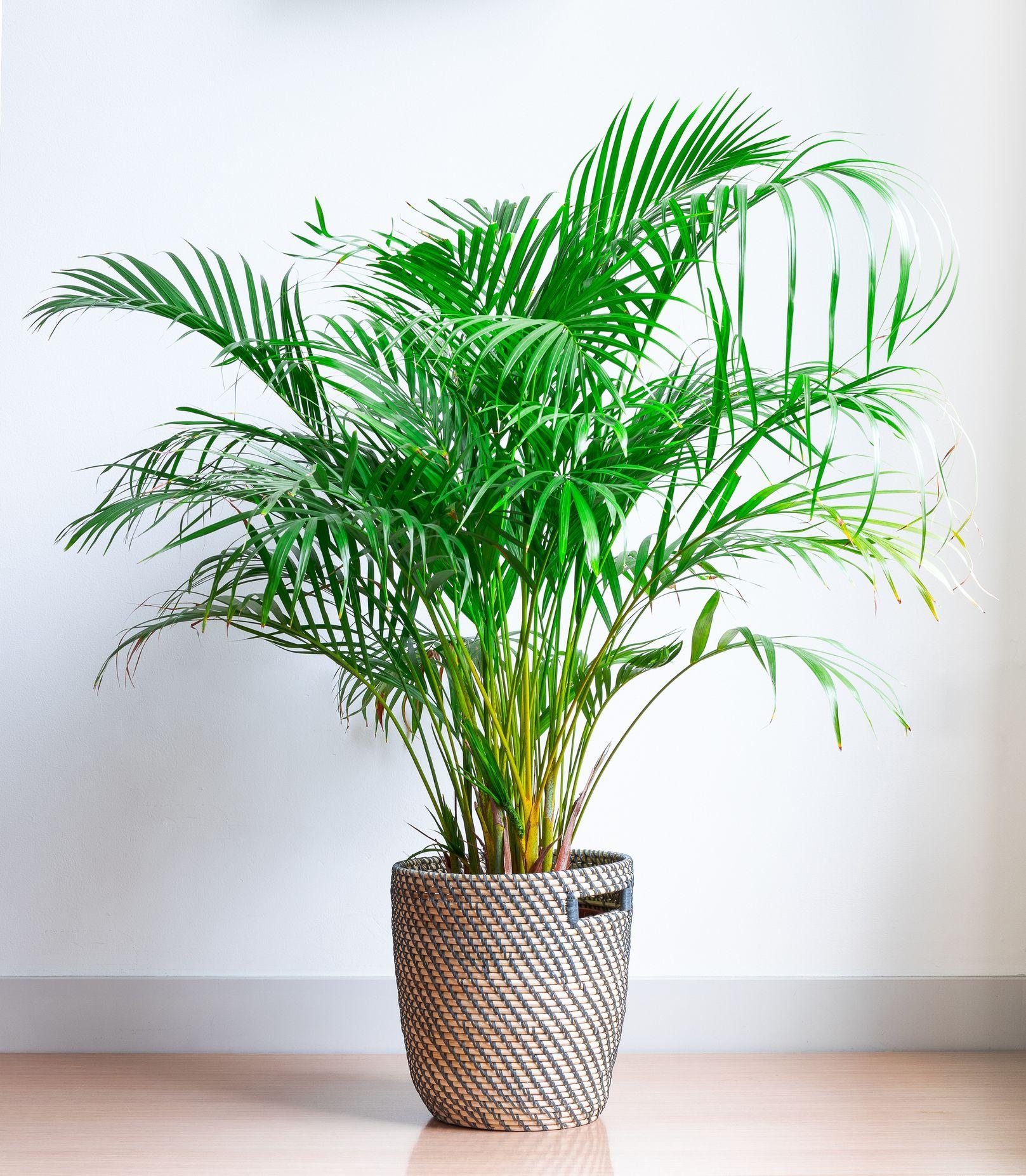 areca palm indoor tree