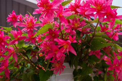 Bright pink double begonia flowers among bright green leaves growing in a flower pot.