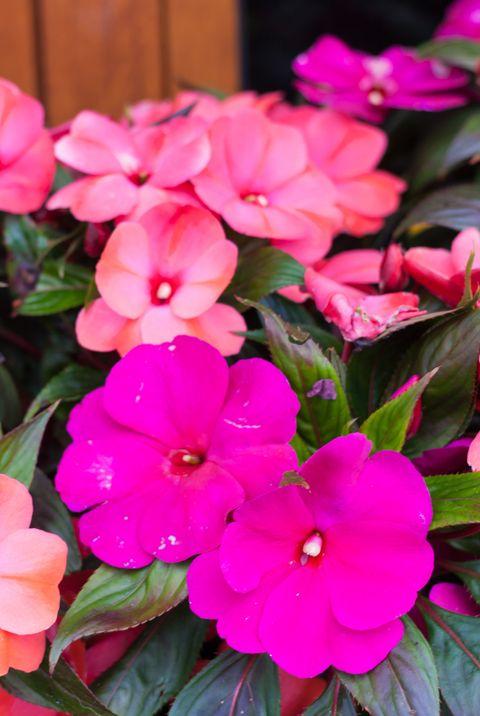 balcony plants New Guinea impatiens