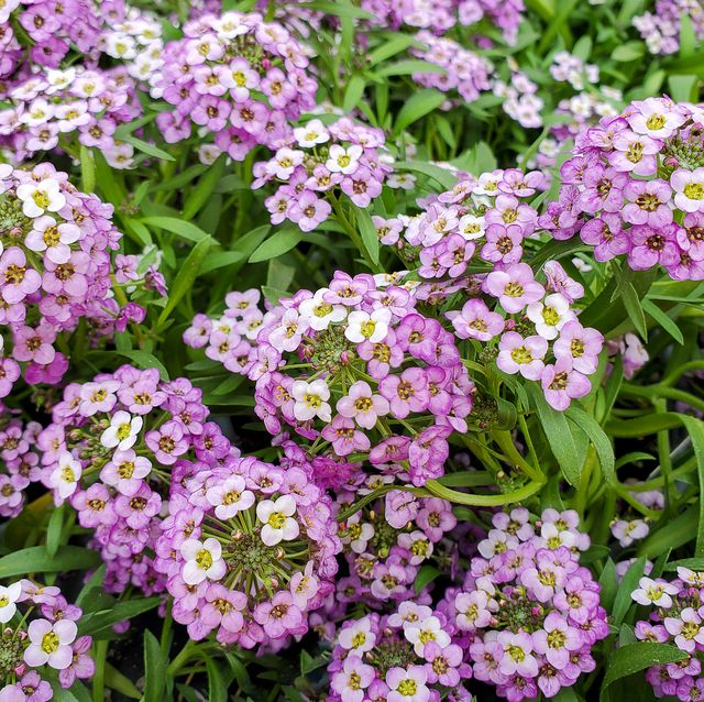 20 Best Ground Cover Plants And Flowers, Ground Cover Flowering Plants