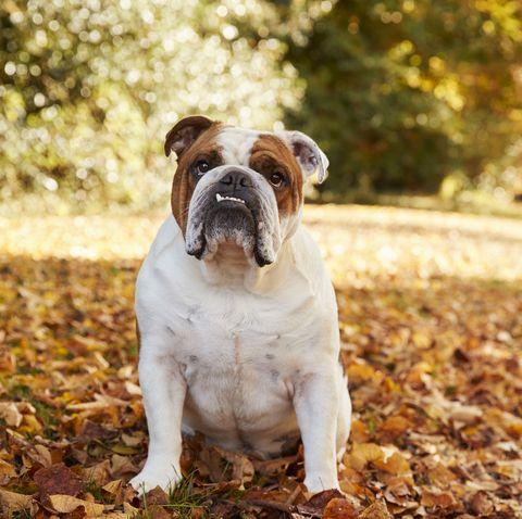 British Bulldog Sitting By Path In Autumn Landscape