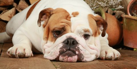 Resultado de imagen para Bulldog sad pinterest