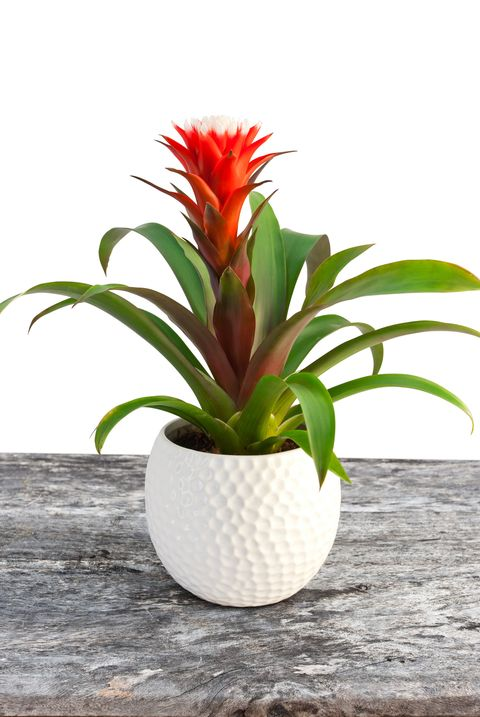 Guzmania flower blossom isolated image of the flower in the white pot on the table