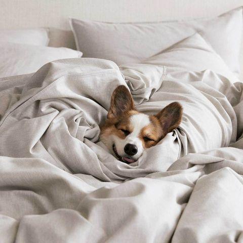 Mammal, Vertebrate, Dog, Canidae, Dog breed, Carnivore, Companion dog, Comfort, Cardigan welsh corgi, Puppy,