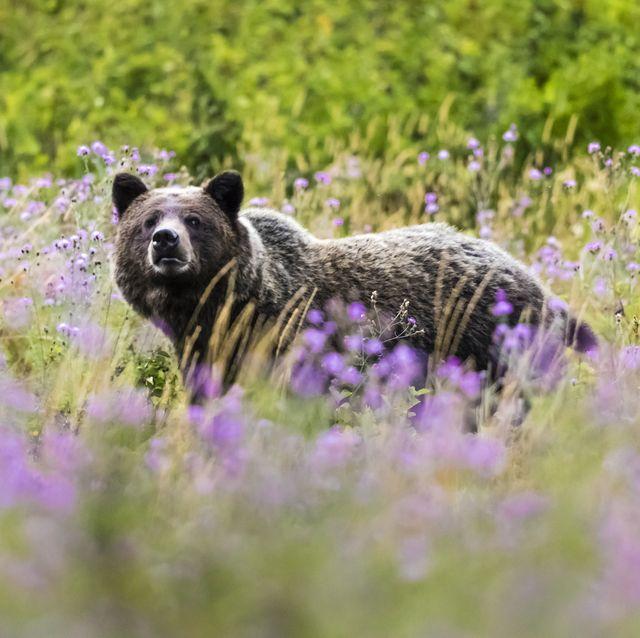 brown bear, glacier national park, us