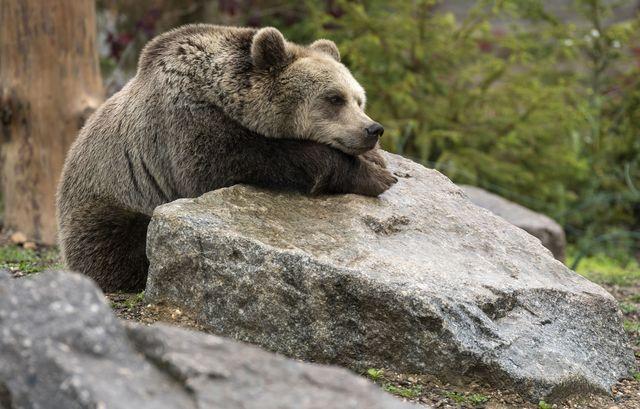 un oso descansa en un zoológico de francia