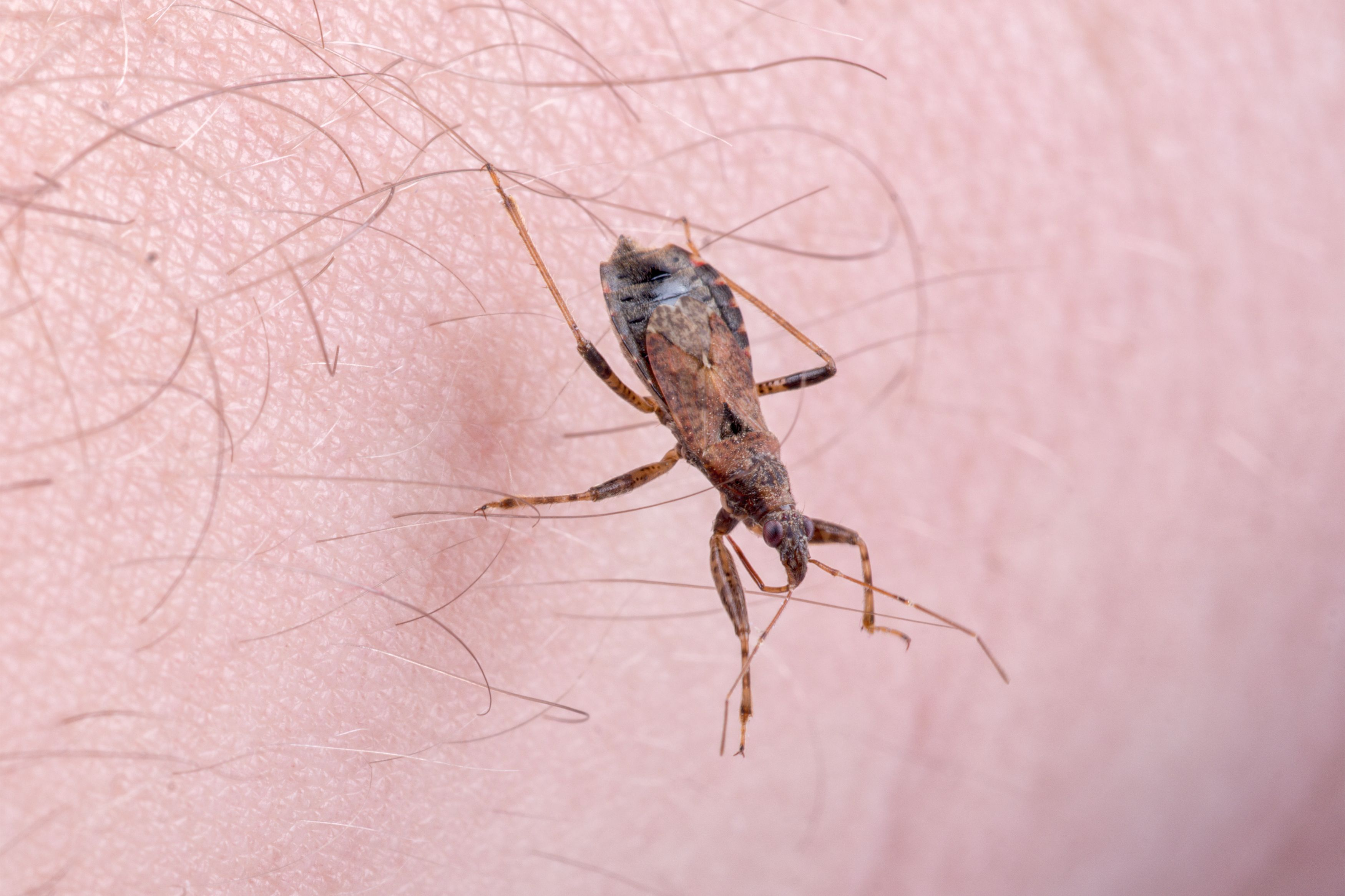 Kissing Bug Bites Victims and Spreads Chagas Disease Through Its Poop