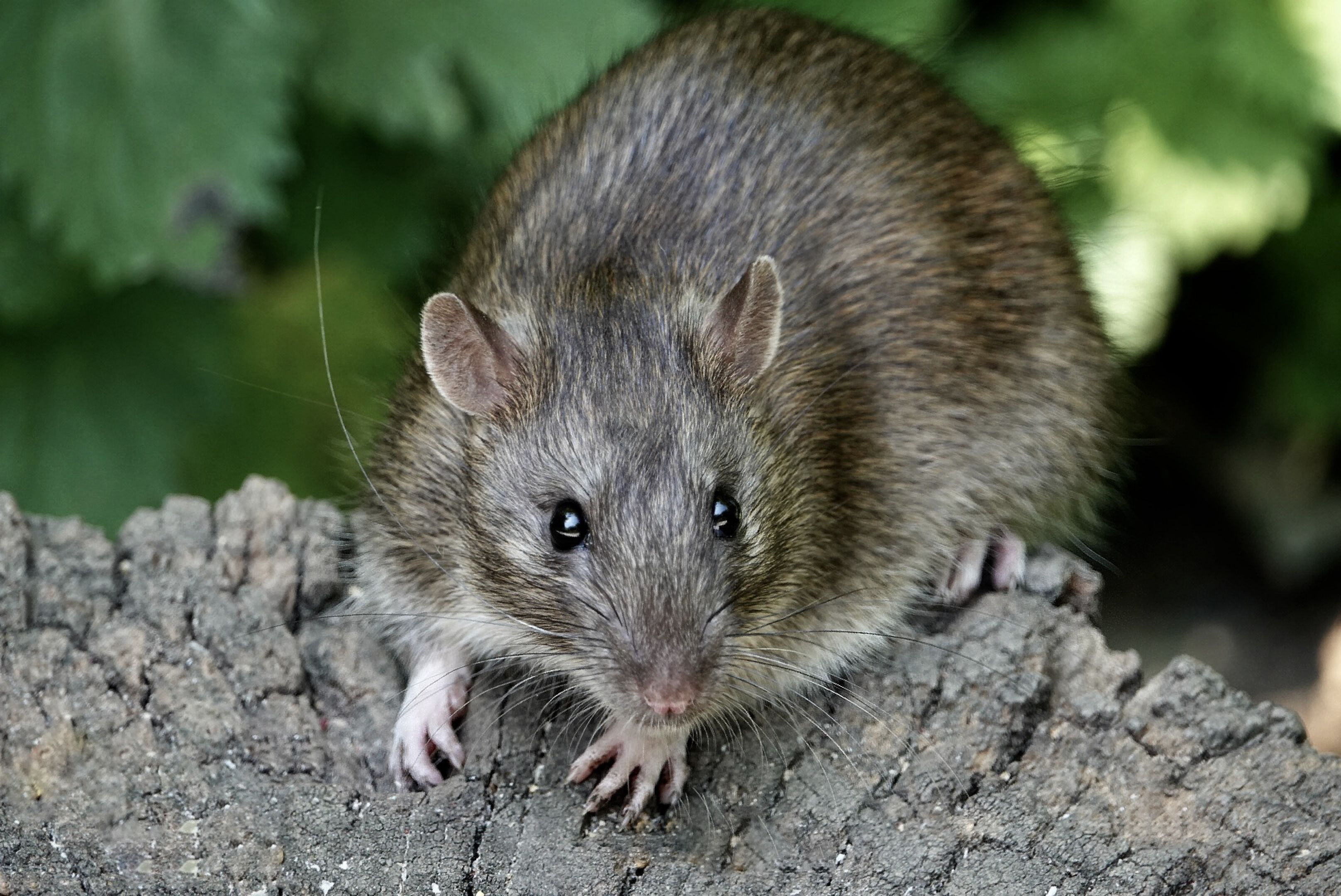 How To Get Rid Of Rats In The Home — Expert Tips