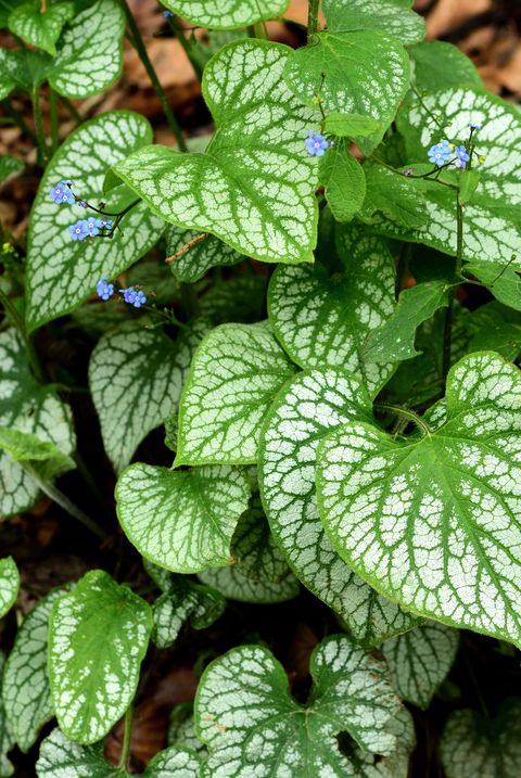 Brunnera leaves.