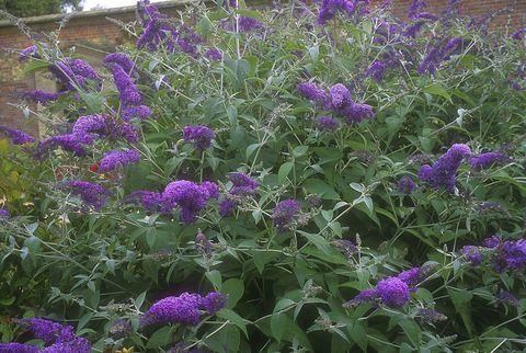 buddleia lochinch, july, norfolk