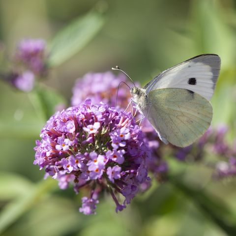 small white butterfly, pieris rapae, aka cabbage white butterfly, feeding on nectar from a buddleja flower