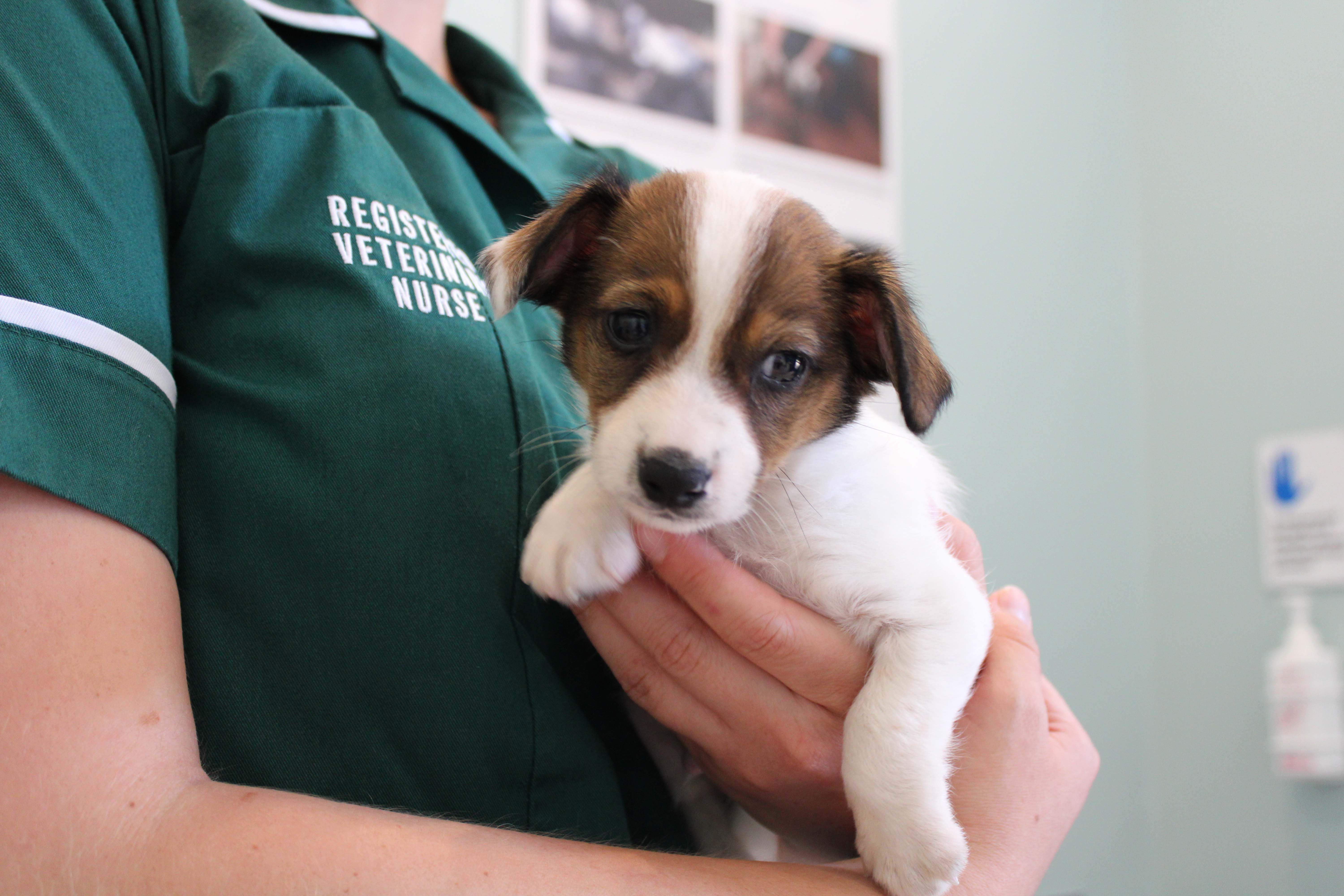 Happy Ending For Six Week Old Jack Russell Puppy Abandoned After Being Bought Online