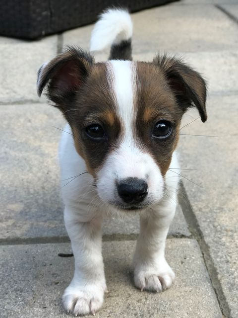 happy ending for six week old jack russell puppy abandoned after