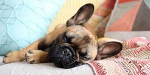 Bull dog francés durmiendo en el sofá