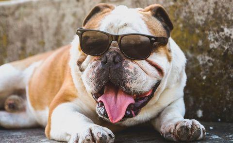 bulldog wearing sunglasses