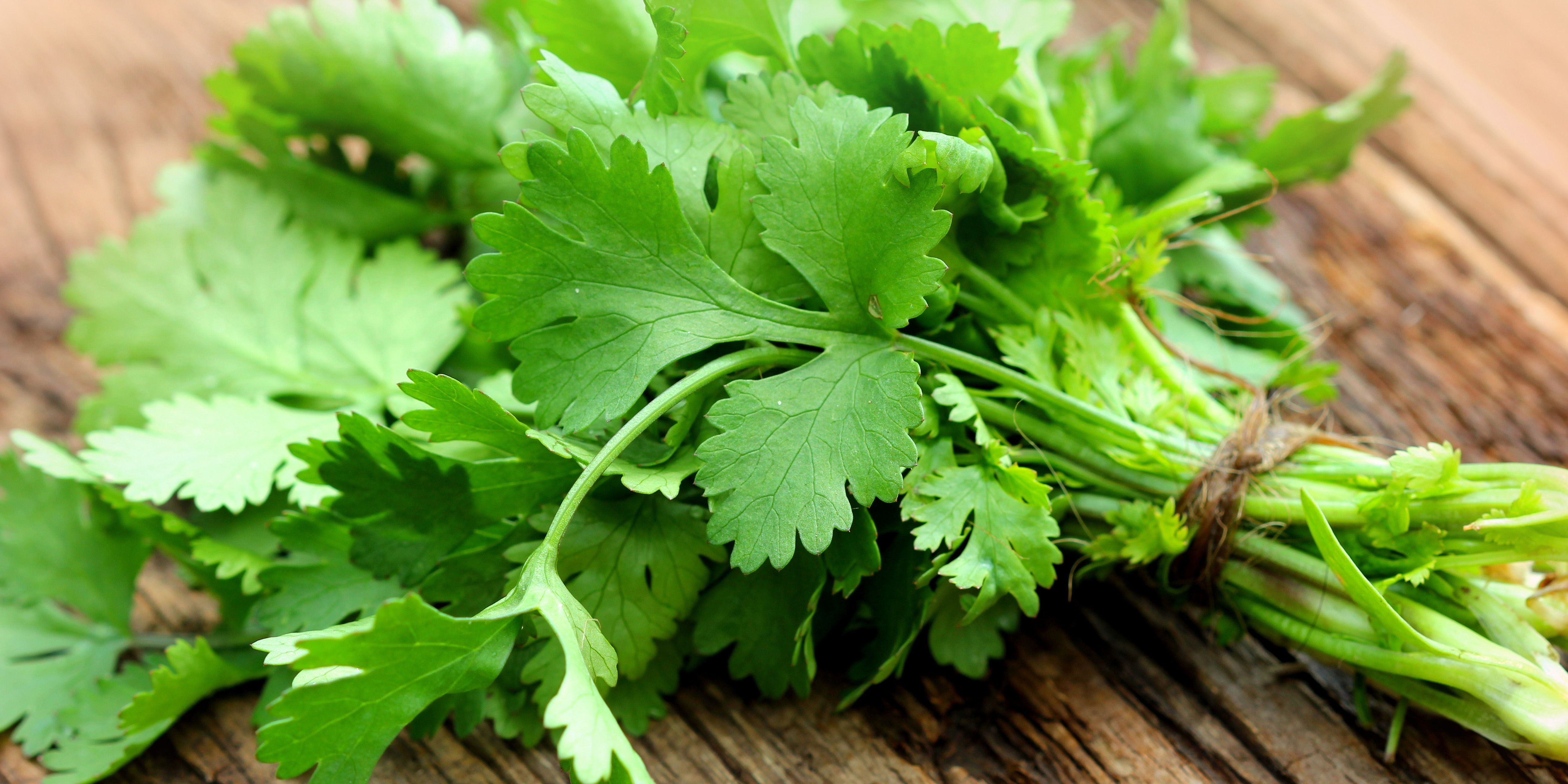Bunch of fresh coriander on a wooden table
