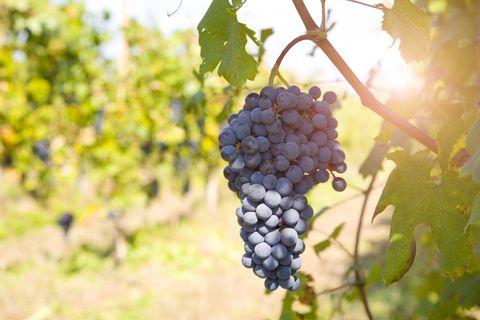 Grappe de raisin sur arbre, Langhe Nebbiolo, Piémont, Italie