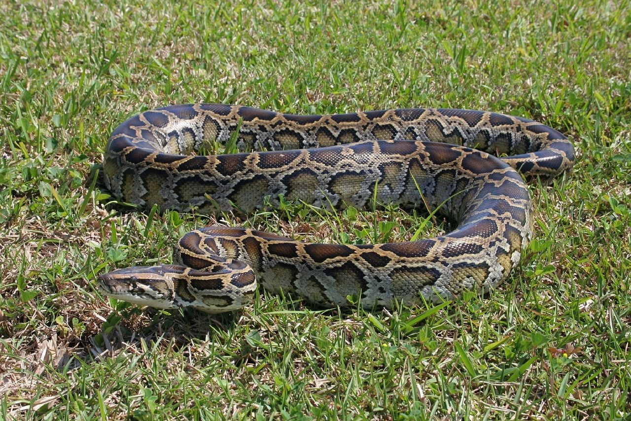 Florida Python Found With an Entire Deer Inside It