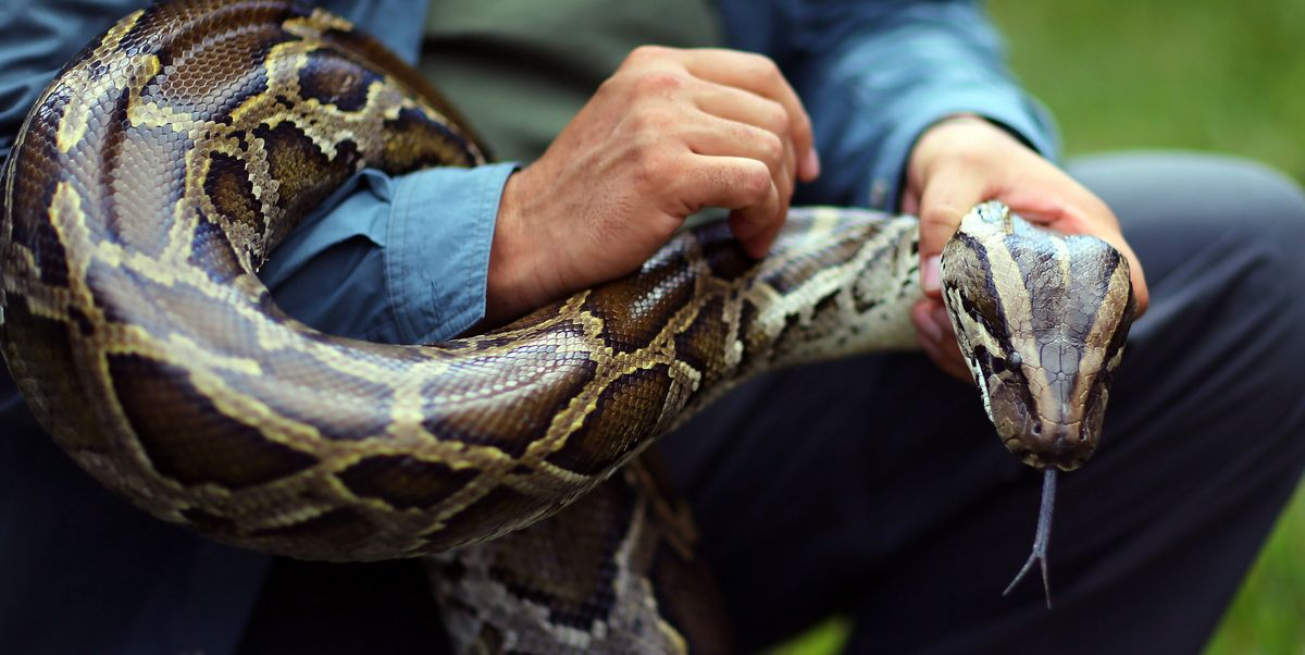 A Whopping 5,000 Invasive Pythons Have Been Removed From the Florida Everglades