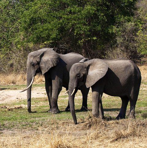 Elephant, Elephants and Mammoths, Wildlife, Terrestrial animal, Vertebrate, Mammal, African elephant, Indian elephant, Nature reserve, Safari,