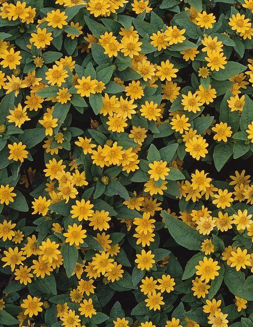 Mini Yellow Daisies