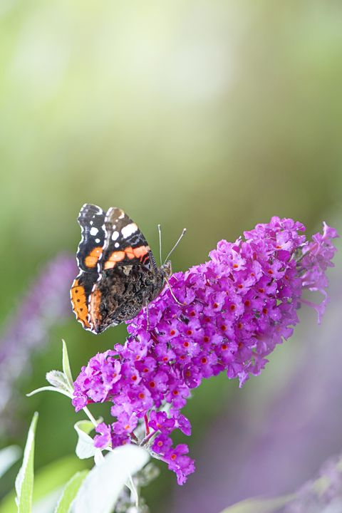 close up of dwarf butterfly bush with butterfly on the flowers