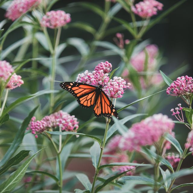 butterfly sitting on milkweed