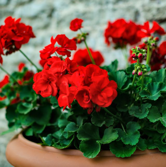 buy plants online   red garden geranium flowers in pot , close up shot  geranium flowers pelargonium