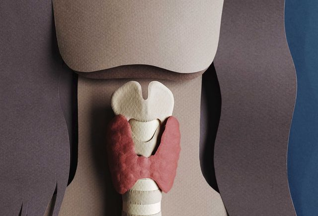 human anatomy illustration   thyroid organ