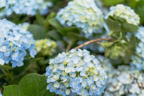 藍色的繡球花