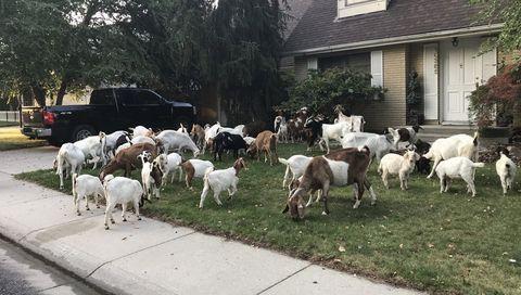 Herd, Livestock, Herding, Goats, Cow-goat family, Grass, Goat, Goatherd, Grazing, House,