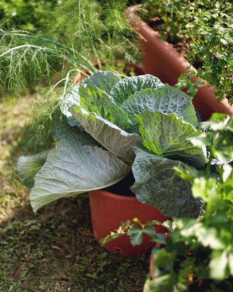 cabbage growing in pot