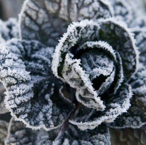 Cabbage (Brassica) plant covered in frost