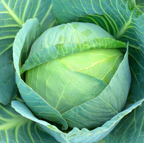 Cabbage (Brassica oleracea)