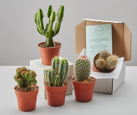 Cacti Selection Box By Geo Fleur 24 Notonthehighstreet
