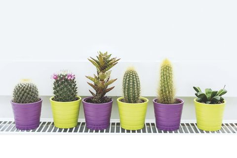 Cactus, Flowerpot, Houseplant, Plant, Flower, Terrestrial plant, Thorns, spines, and prickles, Grass, Succulent plant, Prickly pear,