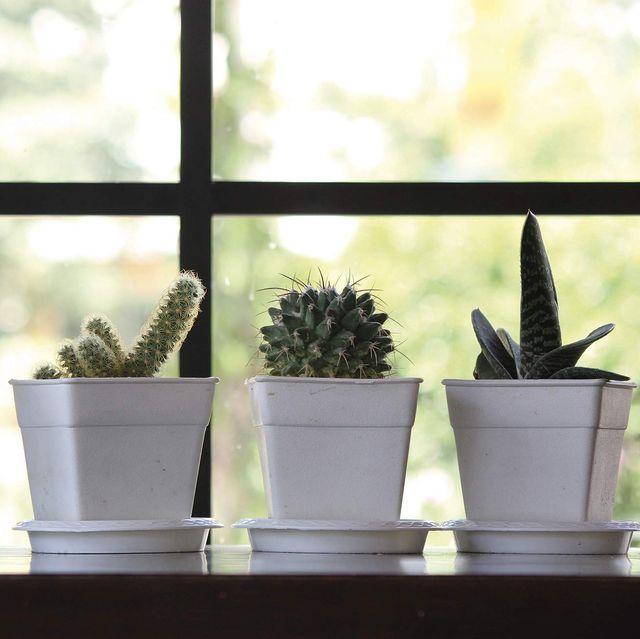 cactus en macetas pequeñas blancas