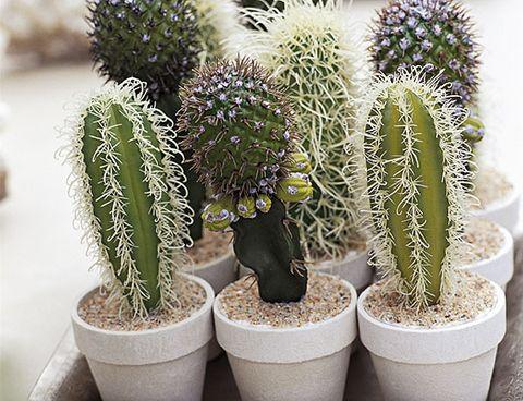 cactus en macetas pequeñas