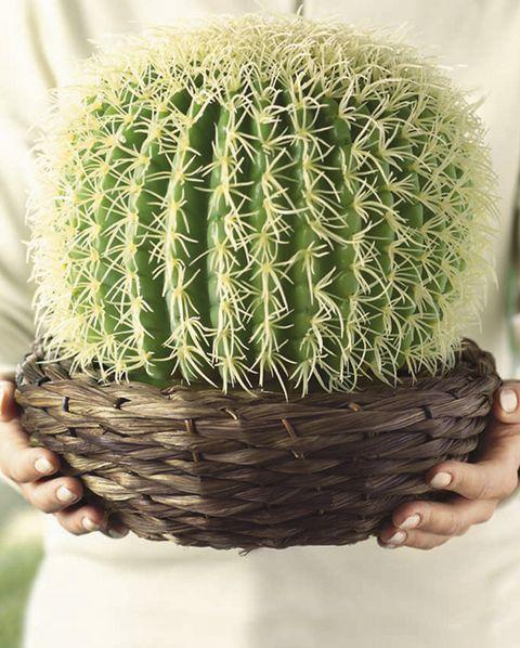 los cactus mammillaria don los más comunes y fáciles de cuidar, de diesashop
