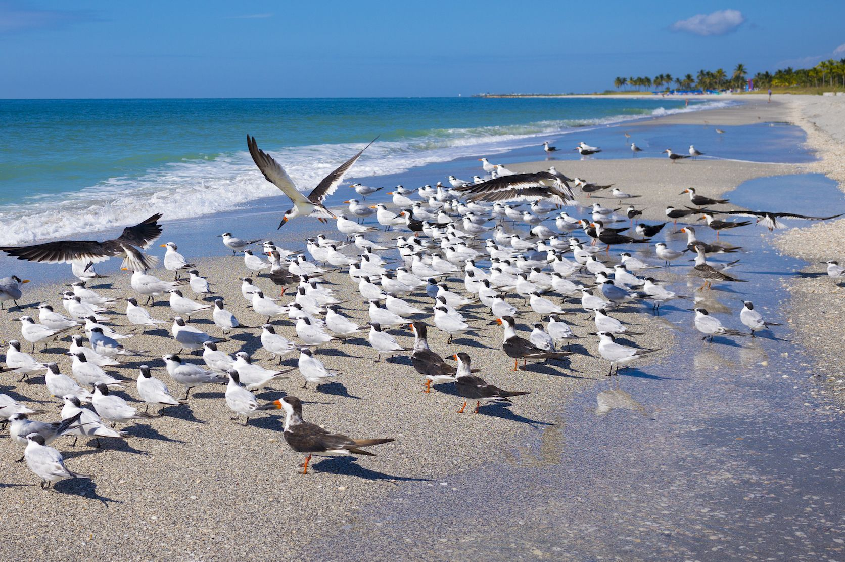 Royal Terns on Captiva Island, Florida, USA