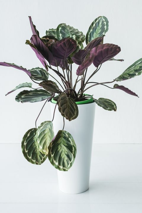 Calathea in pot with colorful leaves isolated on grey background