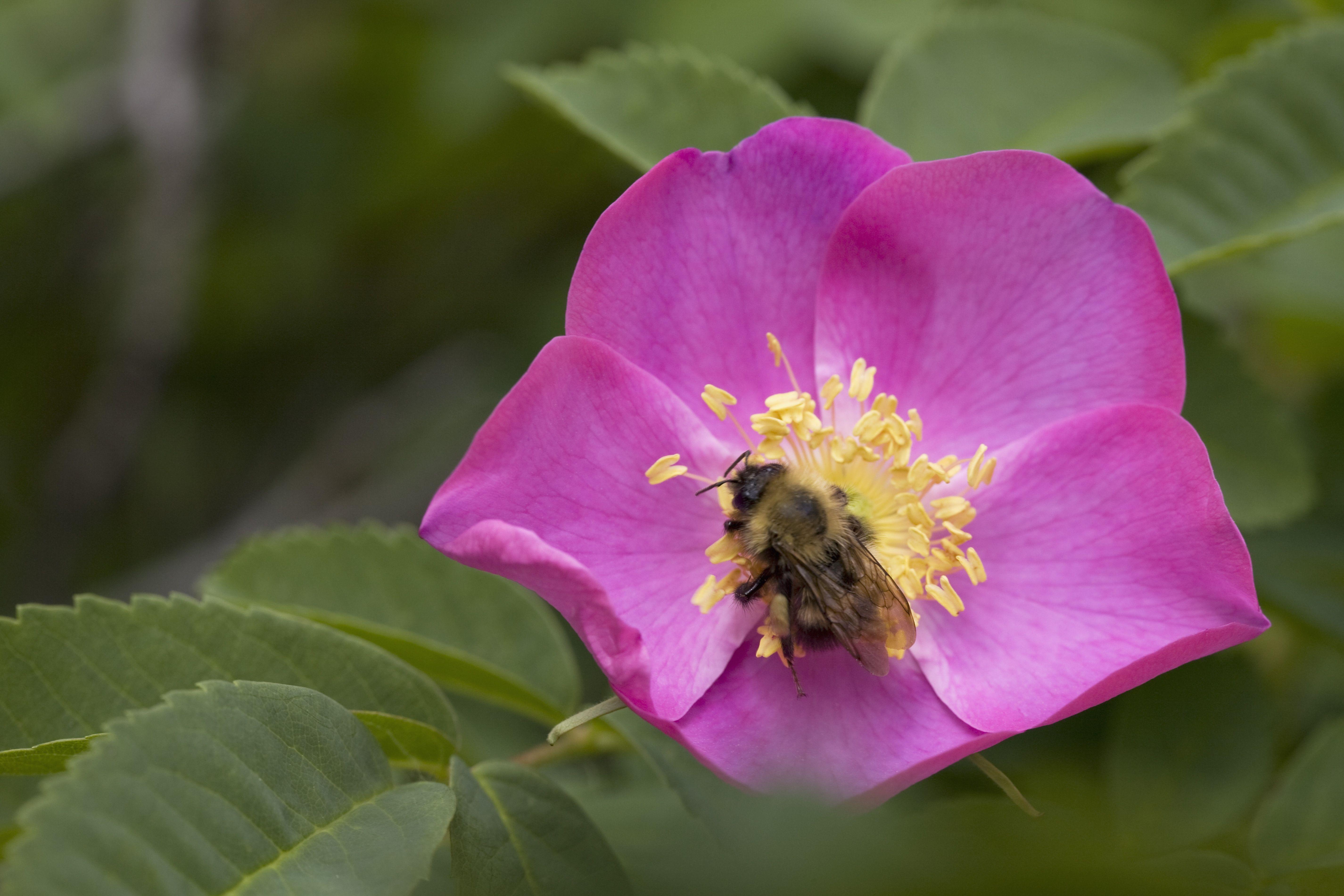 32. Wild Prairie Rose - Iowa