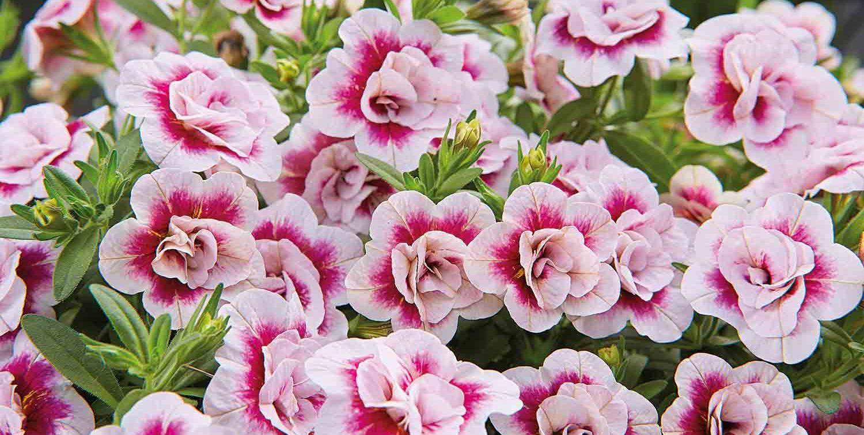 Calibrachoa MiniFamous® Double PinkTastic –mini petunia 'PinkTastic'