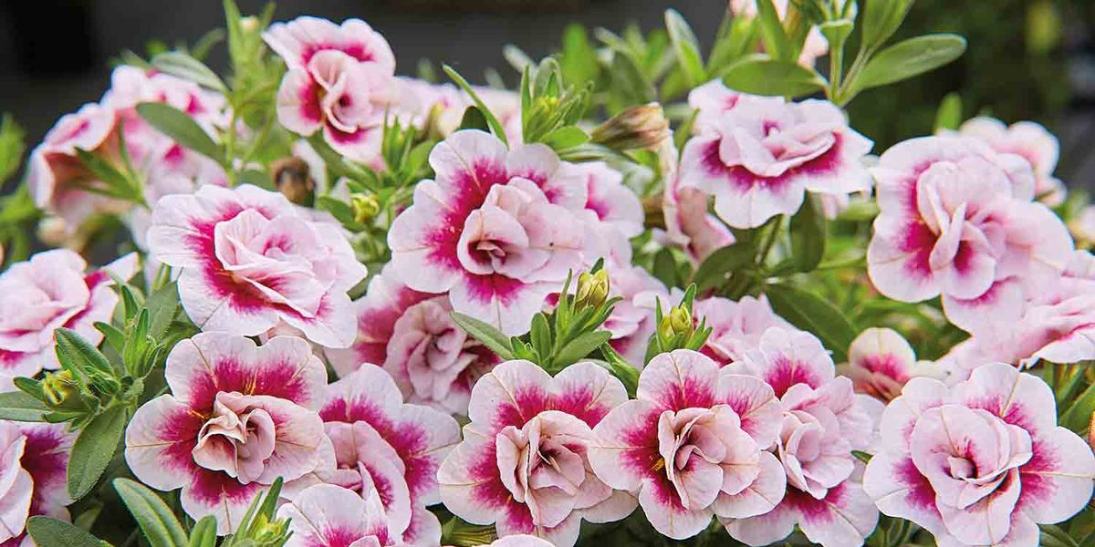 3D Effect Mini Petunia PinkTastic Plant Is A Must-Have For Summer ...