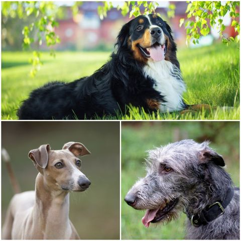 Best calm dog breeds for owners to adopt - The Kennel Club