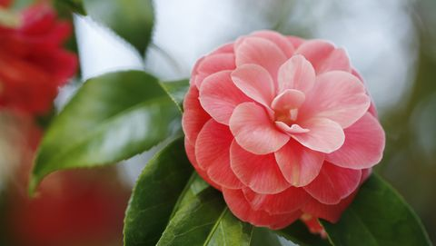 55 best types of flowers pretty pictures of garden flowers camellia mightylinksfo