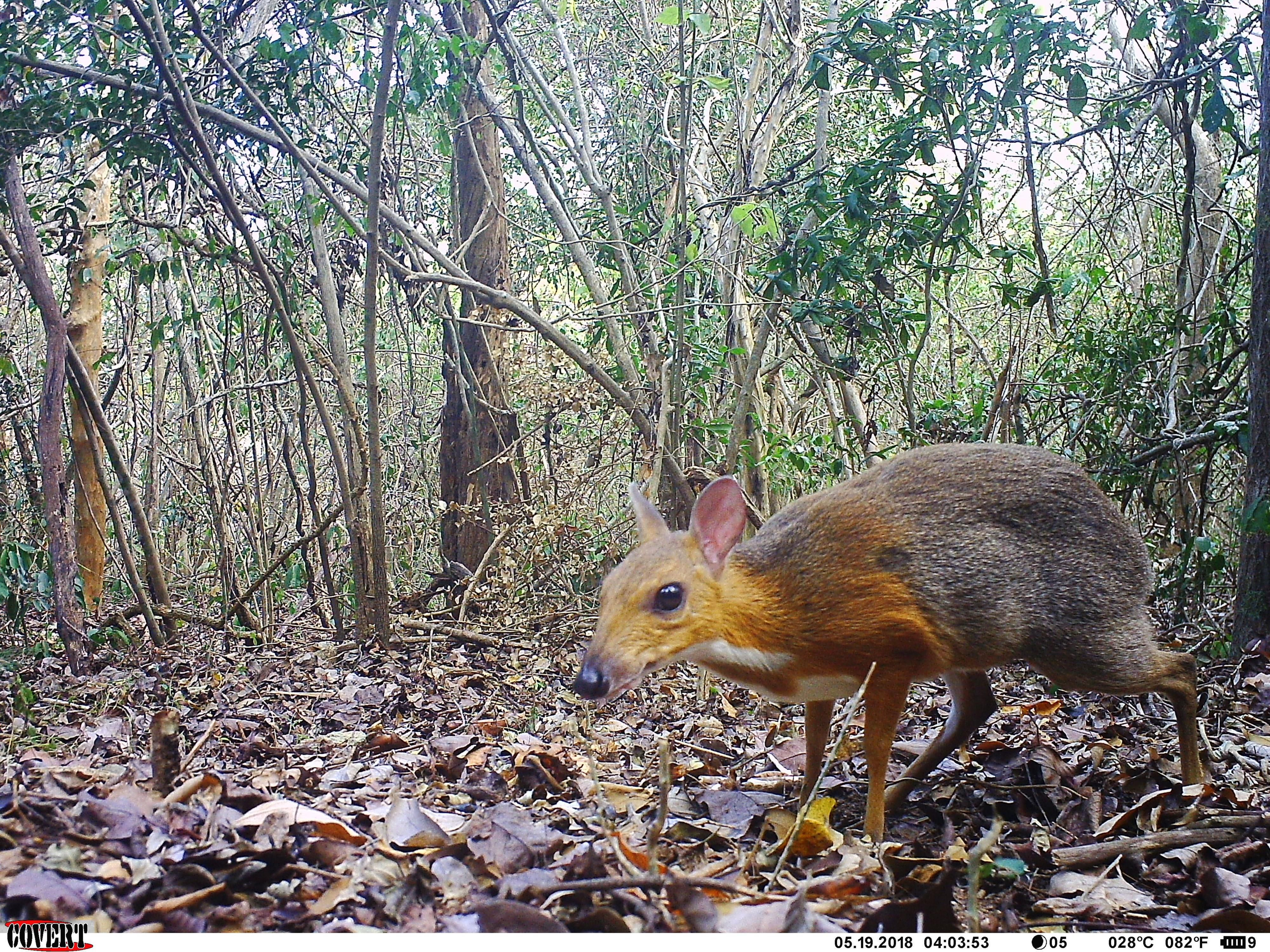 Missing for 30 Years, a Rare Deer Species Is Rediscovered in Vietnam
