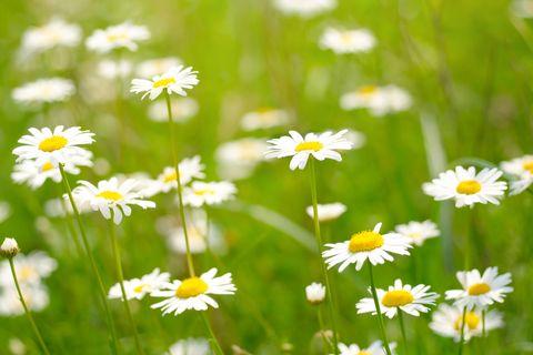 健康寿命イメージ カモミールの花