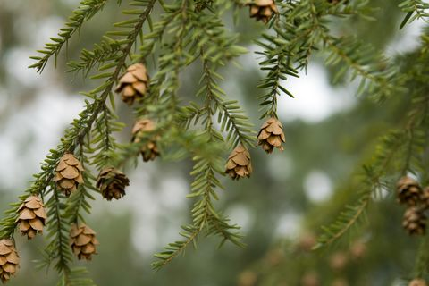 Canadian Hemlock branches with seed cones (Tsuga canadensis)