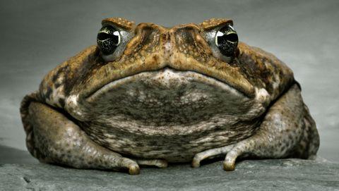 Cane toad (bufo marinus), close-up